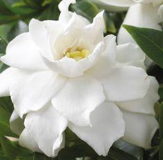 ~~Gardenia Crown Jewel | Hayloft Plants~~