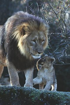 Lion: Dad With His Cub.