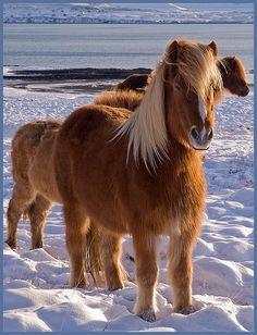 Viking Horses - Iceland