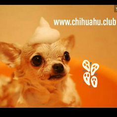 How to choose the right shampoo for your Chihuahua. With this wide range of dog shampoos on the market, it can be difficult to know which ones to buy. In most cases, the preferred option will be Chihuahua Quotes, Round Dog Bed, Operant Conditioning, Strong Guy, Flea Treatment, Dog Shampoo, Fleas, Yorkie, Pet Care