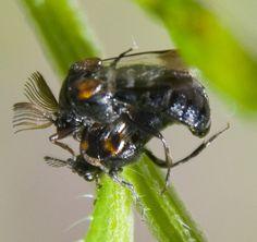 mating wedge shaped beetles? - Ripiphorus - male - female