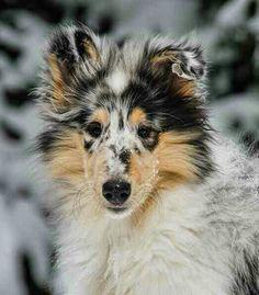 Beautiful Collie Puppy~