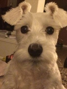 Aww what a darling little white mini Schnauzer, so adorable*