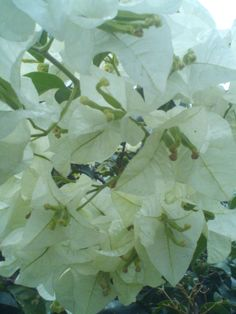 White bougainvillea growing at the entrance of the Pitch Lake, Trinidad