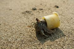 Hermit Crab in Plastic Shell-Sad (and maybe dangerous. Sad, if beaches have more plastic than shells!)