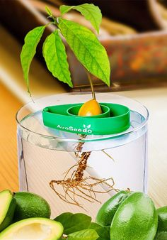 The AvoSeedo Avocado Tree Growing Kit is simply a small plastic gadget that increases the success rate of the avocado germination and to grow tree at home. Best Gifts For Gardeners, Unique Gifts, Great Gifts, Avocado Tree, Fun Hobbies, Cool Inventions, Growing Tree, Gadgets And Gizmos, Garden Gifts