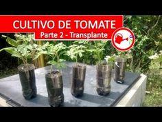 Cultivo de Tomate Parte 2 - Como plantar tomates espectaculares en casa ...