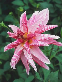 pink giraffe is beautiful variety of dahlia