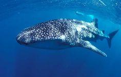 Whale Shark 97a