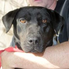 Madison is an adoptable Labrador Retriever Dog in Littleton, CO. Madison is a sweet girl around 1 year old. For more information or to schedule a time to meet her, call DDWR at Labrador Retriever Mix, 1 Year Olds, Dogs Of The World, Sweet Girls, Schedule, Adoption, Meet, Reading, Books