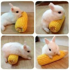 Bunny with corn ♥