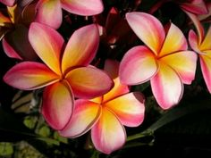 Everything about Plumeria Flower