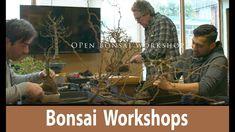 Open Bonsai Workshop working on Japanese Maple, English Elm, Chinese Lig...