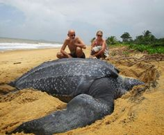 Funny pictures about Giant Leatherback sea turtle. Oh, and cool pics about Giant Leatherback sea turtle. Also, Giant Leatherback sea turtle. Giant Sea Turtle, Turtle Love, Sea Turtles, Turtle Baby, Animals Beautiful, Cute Animals, Large Animals, Beautiful Creatures, Giant Animals