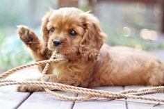 Sweet ruby puppy