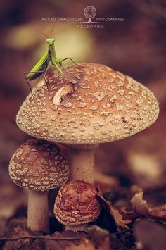 House smurf by macromike on 500px (small mantis on Blushing Amanita)