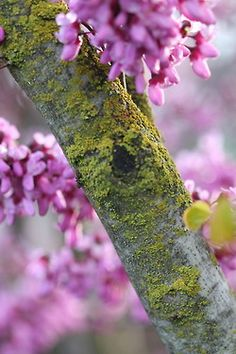 Red Bud Tree Blooms... (in pea family)...  (via Harmony Cottage)...