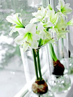 Serene amaryllis bloom in soft winter light on a cool windowsill. Line up a trio of the blooms in special glass vases designed to suspend the bulbs above water. To add a glistening effect and help the roots grow, fill the bottom of the vases with a handful of clear marbles.