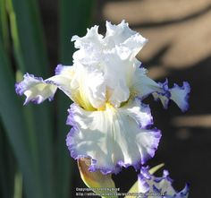TB Iris germanica 'Sapphire Lace' (Kerr, 2013)