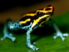Poison Dart Frog : The Amazon: Explore the Exotic Wildlife : TravelChannel.com