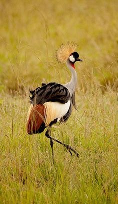 Safari Kenya Masai Mara Crested Heron by pickledimages, via Flickr