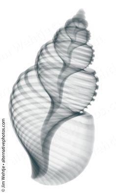 X-ray photos of seashells and starfish. on Behance