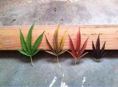 colours of the rainbow ( marijuana cannabis ) http://www.pinterest.com/thathighguy