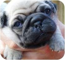 Want him i have a pug right now her name is Lucy !!!!!!!!!!!!!!!!!!