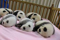 China is currently celebrating the birth of eight panda cubs at at the world's largest giant panda reserve, the Chengdu Panda Base. Just one was born elsewhere; at the Wakayama Adventure Zoo in Japan. His mother was a Chengdu Panda Base panda, so he's being counted as well. The names of the eight babies are: Oreo, Xiao Qiao, Si Yi, Yuan Run, Miao Miao, You Bin, and twins Cheng Shuang and Cheng Dui.