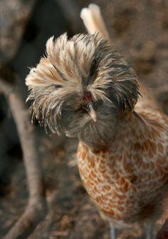 buff laced polish   farm animals + pet photography #chickens