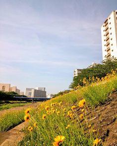 風 花がみんな向こう向き #柏尾川  #空 #青空 #イマソラ #いまそら #ダレカニミセタイソラ #写真好きな人と繋がりたい #写真撮ってる人と繋がりたい #photo #japan #landscape #日本 #風景 #景色 #instagram #instagramjapan #igers #igersjp #sky #bluesky #nature #igで繋がる空 #skylovers #skyporn #skypainters #skyscraper #photography #photooftheday #insta #instagood