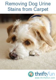 Accidents resulting in dog pee stains can happen whether you have a new puppy, a senior dog or anywhere in between. This is a guide about removing dog urine stains from carpet.