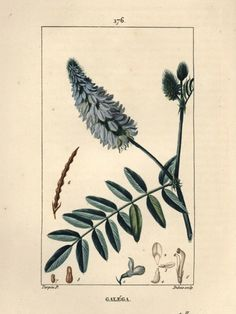 thanoptypical:Goats Rue Galega officinalis from which...