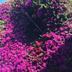 love them #bugambilla #flowers #blossom #meencanta #enjoyholiday #marbella