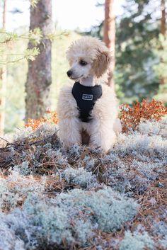 Rukka Mini Comfort pienten koirien neopreenivaljaat ovat mukavat ja kevyet. Hyvin istuvat valjaat on helppo pukea ja riisua.