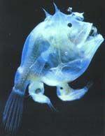 Desde el Azul Profundo  Las diferencias de tamaño entre machos y hembras de la misma especie es casi una constante en el reino animal.A veces esa diferencia se hace mucho más notable.