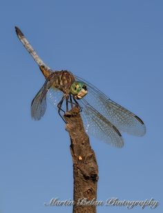 Dragonfly Handstand
