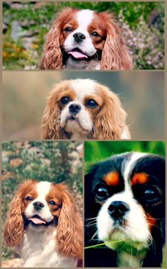Cavalier personality varies from sweet and placid to hard-charging and, yes, stubborn. The sweet, placid Cavaliers in some cases have a reputation for being dumb, and the stubborn ones for being untrainable, but in general, these pet dogs are wise and learn quickly. They respond well to favorable support strategies, specifically when food benefits are used, but extreme words will trigger them to stop trying and even to conceal. Got A Brand New Dog And Need Some Advice? Read This! Every dog is di