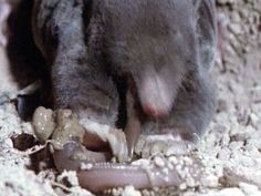 Een mol leeft vooral van regenwormen. Hij graaft onderaardse gangen om regenwormen te zoeken. Hij spoort zijn prooi niet op met de ogen maar met de reuk en het gehoor.