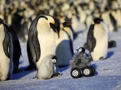 A tiny grey robotic penguin with four, thick, snow-ready black wheels is helping scientists to understand the species' behaviour.
