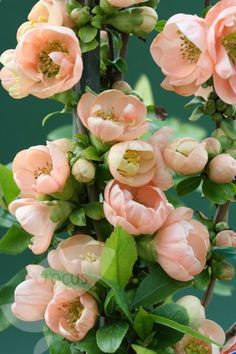 Flowering Quince.
