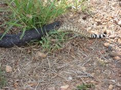 This is why you don't kill black snakes!!!