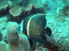 St. Croix USVI 2005  angel fish and coral by RadiantPixelsPhotog, $3.00