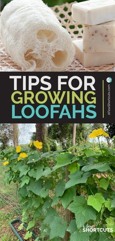 Tips for growing your own loofahs! This spring plant luffa in your garden and have homegrown sponges by the end of summer. Tips for growing your own loofahs! This spring plant luffa in your garden and have homegrown sponges by the end of summer. Diy Gardening, Organic Gardening Tips, Gardening For Beginners, Container Gardening, Vegetable Gardening, Gardening Supplies, Gardening Gloves, Kitchen Gardening, Gardening Courses