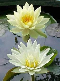 Best health benefits and uses of the lotus flower. The lotus flower is one of the most beautiful blossoms in the world. Water Flowers, Yellow Flowers, Beautiful Flowers, Different Types Of Flowers, Bouquet, Aquatic Plants, Flower Pictures, Exotic Flowers, Magnolia