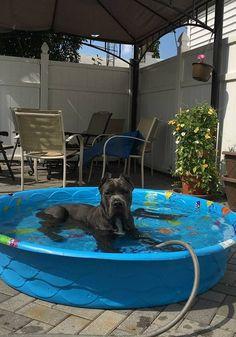 #CaneCorsoBreeder Photos - San Rocco Cane Corso | Cane Corso Puppies for Sale…#sanroccocanecorso San Rocco's Capo at home in New York.