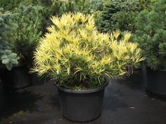 Sciadopitys vert. 'Mireille'- golden umbrella pine- via 'coniferjoy's' photobucket