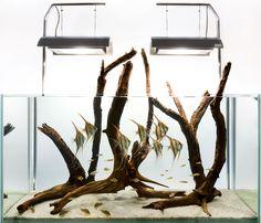 Aquarium Design Group - An Altum angelfish hardscape