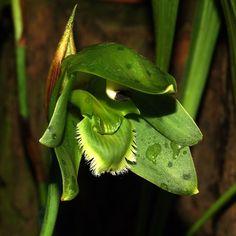 Sudamerlycaste ciliata Orchi 113 - Sudamerlycaste - Wikimedia Commons