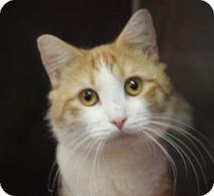 Westampton, NJ - Domestic Mediumhair. Meet Bebo 33802816, a cat for adoption. http://www.adoptapet.com/pet/17109122-westampton-new-jersey-cat